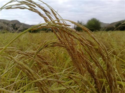 برنج ارچنگان